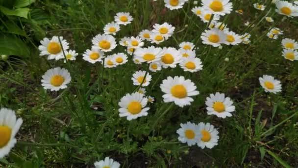 krásné bílé sedmikrásky. divoké květiny ve větru. jarní bílé květy