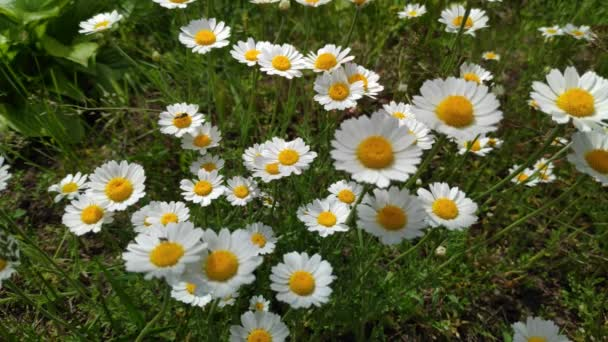 beautiful white daisies. wildflowers in the wind. spring white flowers