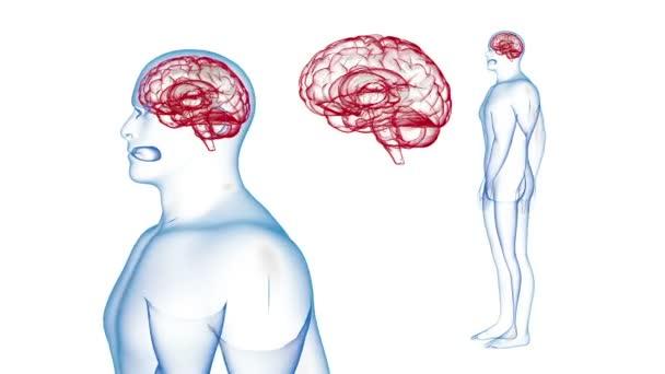 Menschlichen Körper Gehirn Röntgen Effekte Schleife drehen. 3D ...