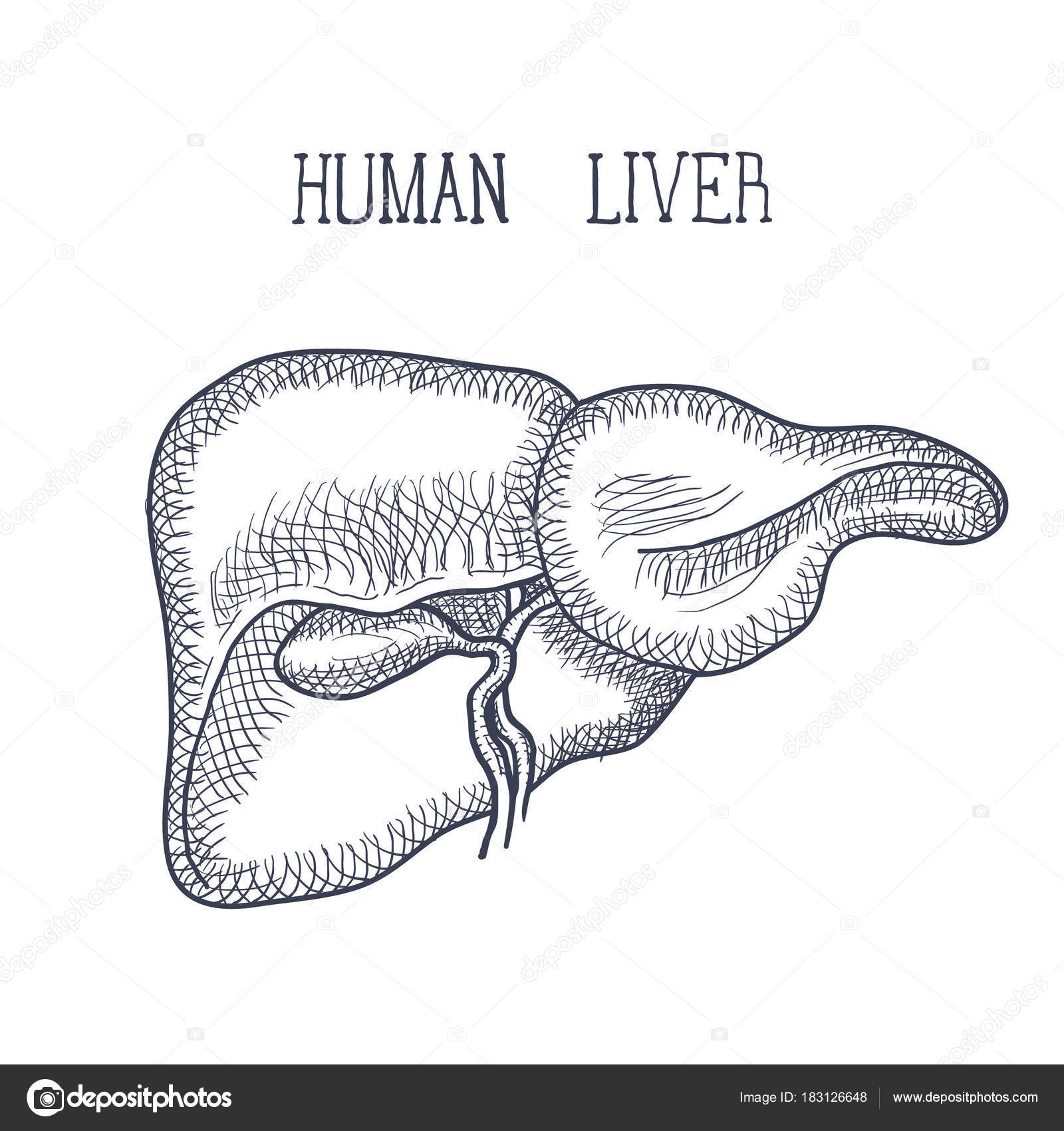 Skizzieren Sie Tinte menschlichen Leber, handgezeichnete, Doodle ...