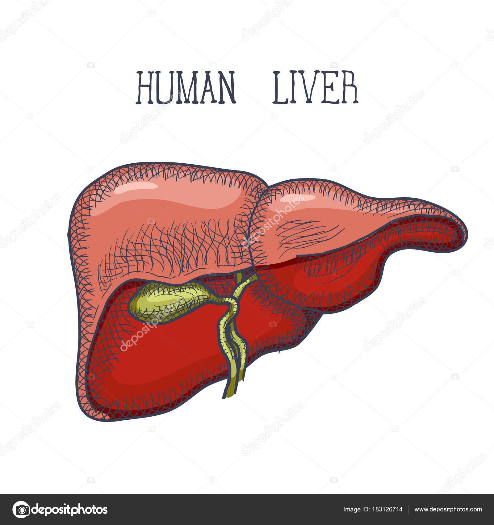 Croquis tinta humano hígado, dibujado a mano, estilo doodle — Vector ...