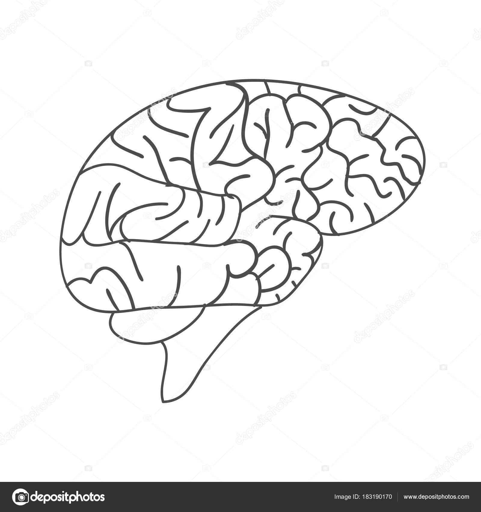 Cerebro humano de la tinta de dibujo, dibujado, a mano ilustración ...