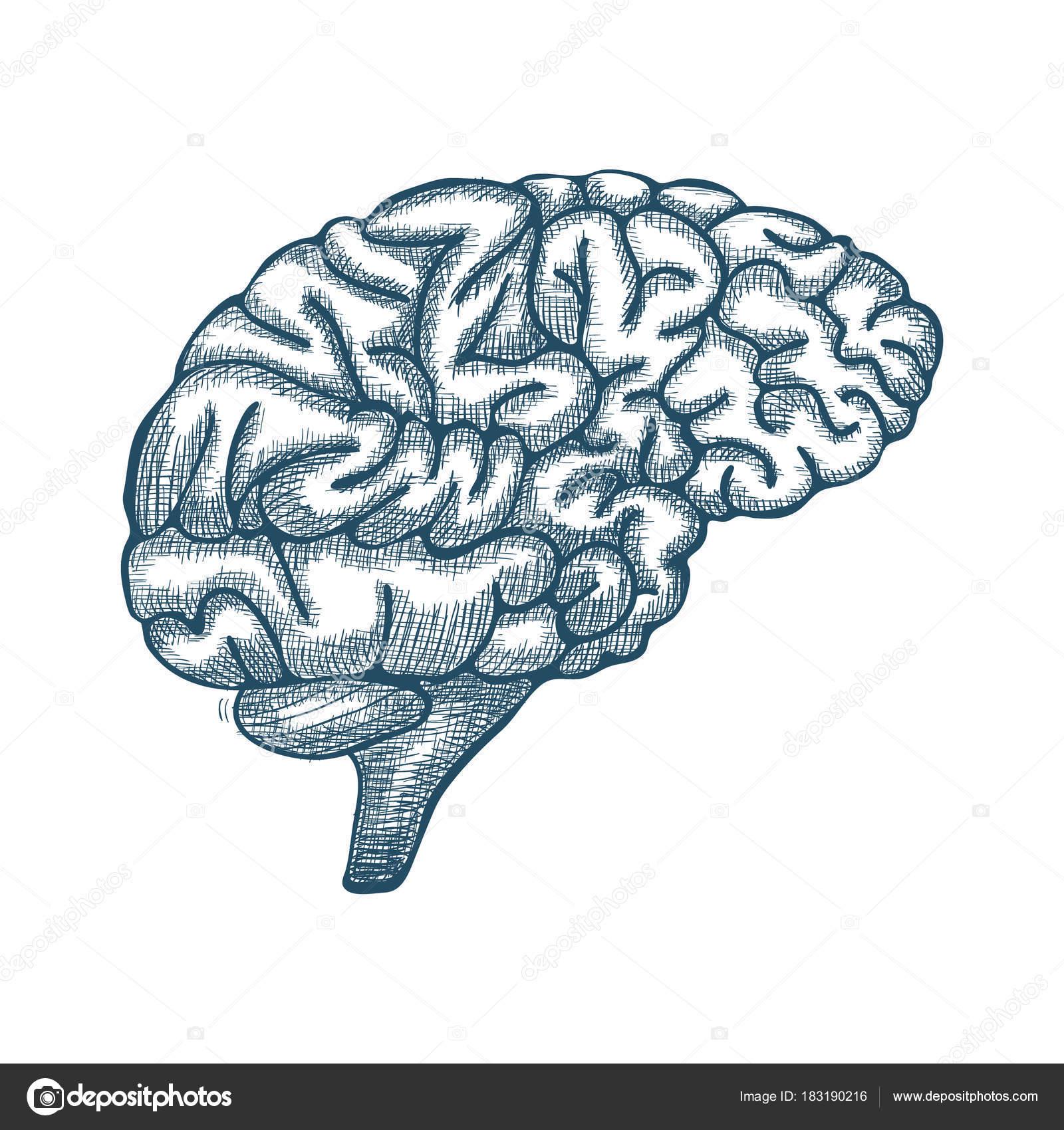 Grabado de la ilustración de cerebro, mano dibuja la ilustración ...