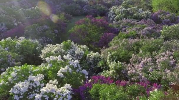 Arbre Fleur Mauve En Arbre De Jardin Fleurs Lilas De Printemps Vue