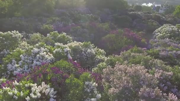 Lilac blossom strom v jarní zahrady, kvetoucí šeřík stromu. Letecký pohled