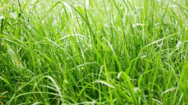 Tautropfen auf dem Gras, die in den Morgensonnenstrahlen leuchten.