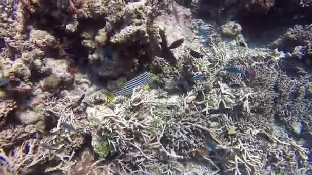 zebřímy pruhy žlutá ryba Tunstallu korálů