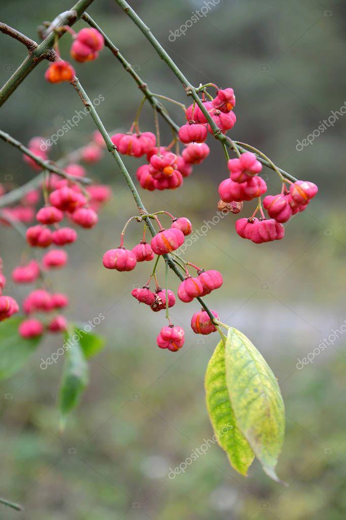 Fruits of an euonymus European (Euonymus europaeus L.)