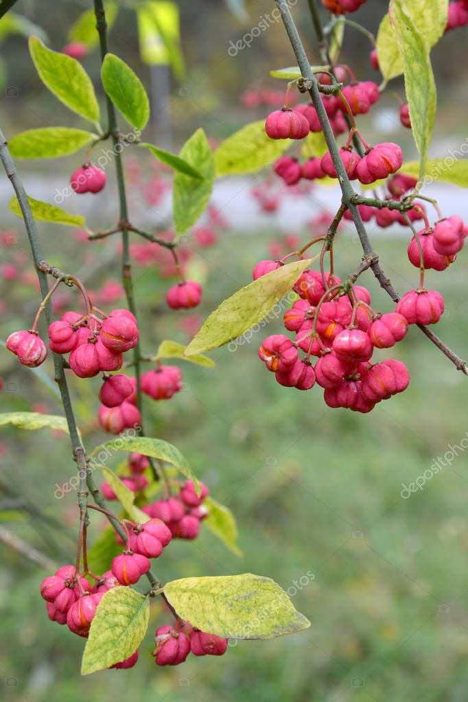 Branches with bright fruits of an euonymus European (Euonymus europaeus L.)
