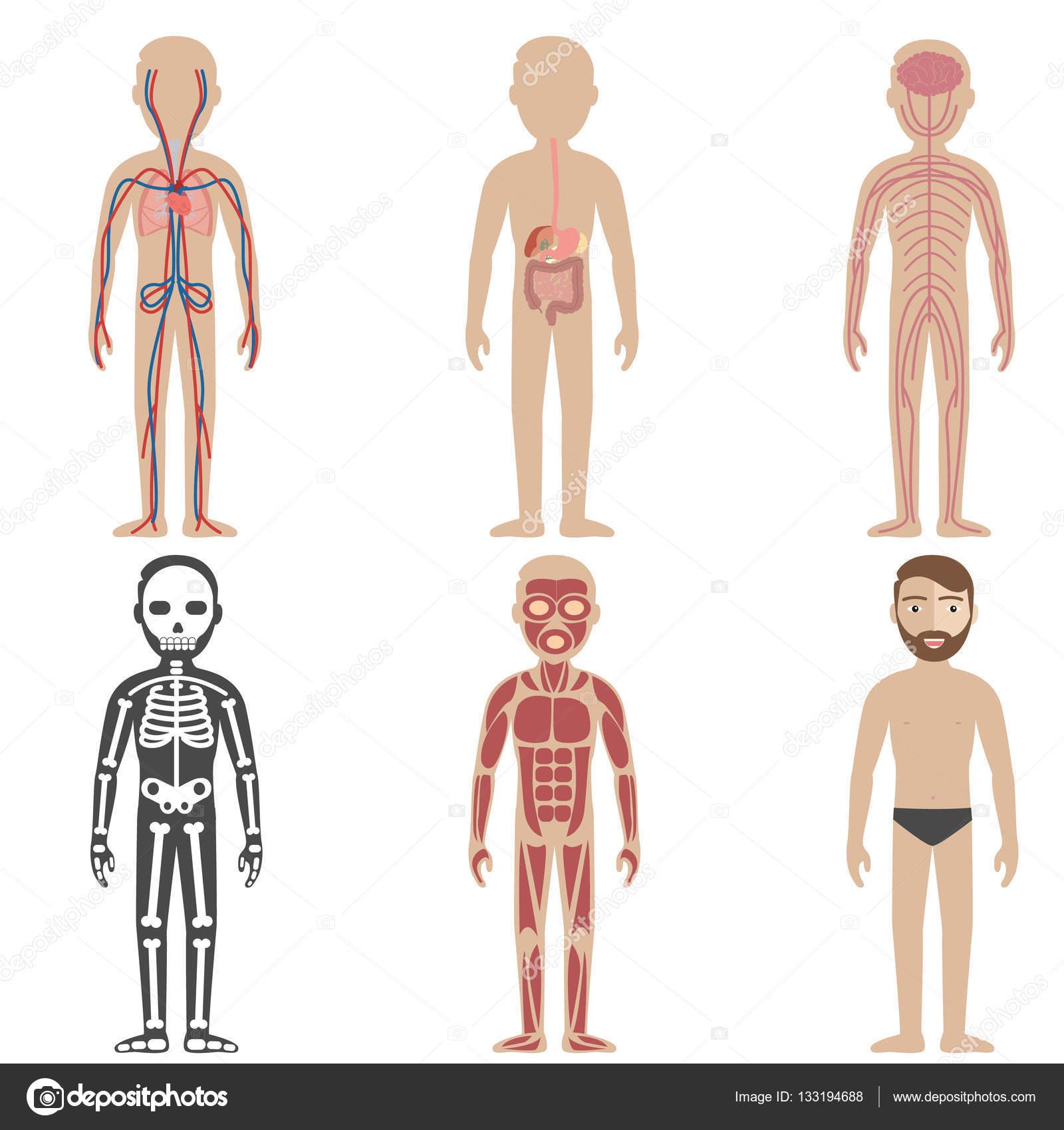 Abbildung der menschlichen Körpersysteme — Stockvektor © royalty ...