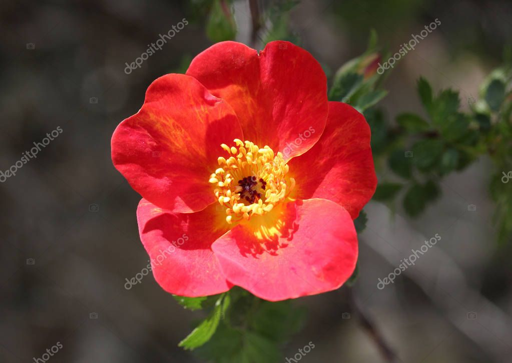 Wild rose blooming background