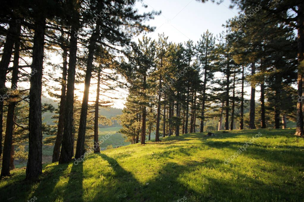 Beautiful nature pine forest
