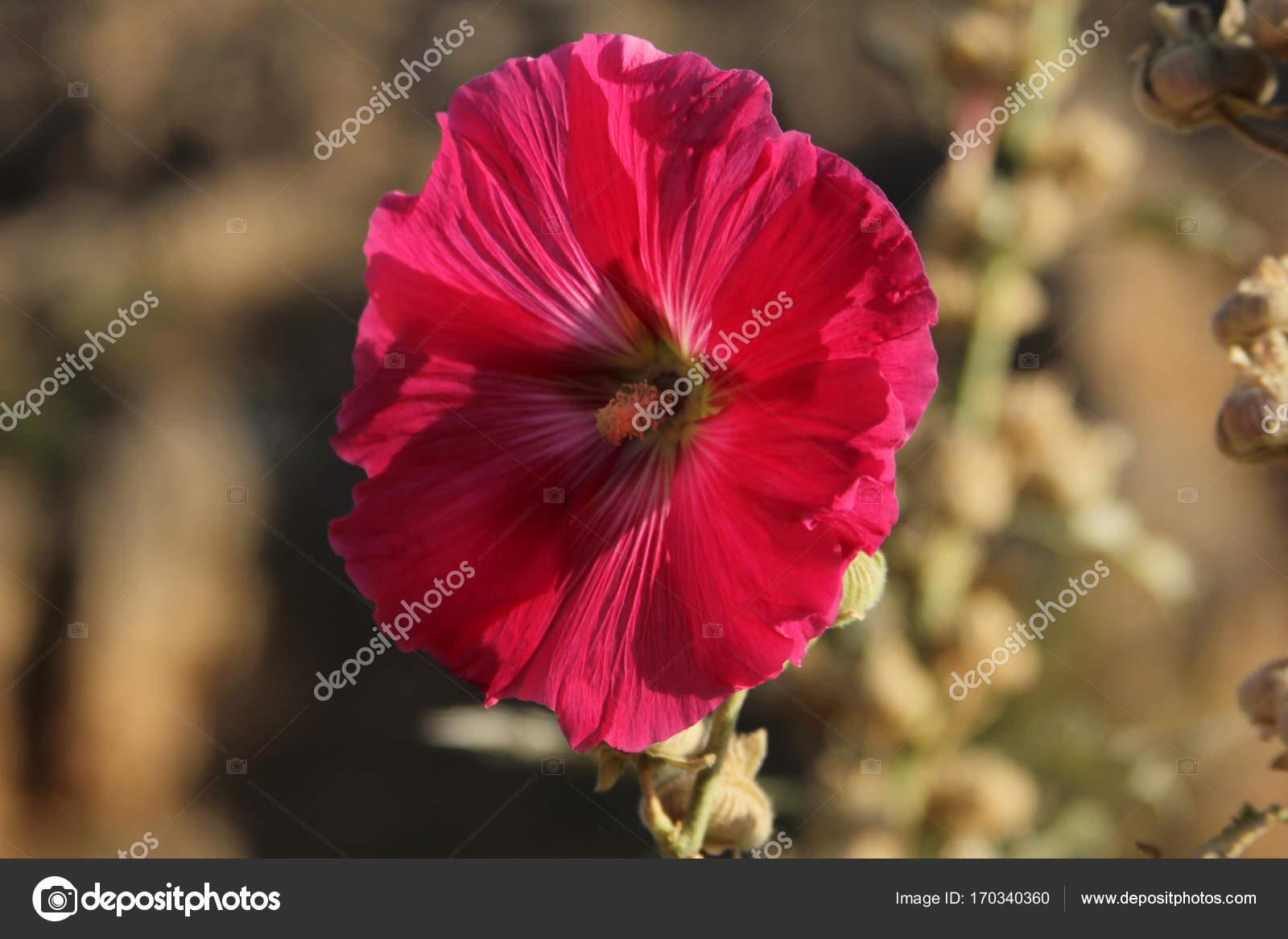 Pink Angel Trumpet Flowers Stock Photo Reflexsafak 170340360