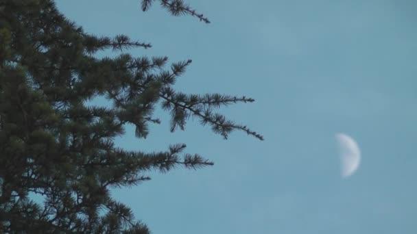 fenyőfa lengett a szélben. ég és hold.