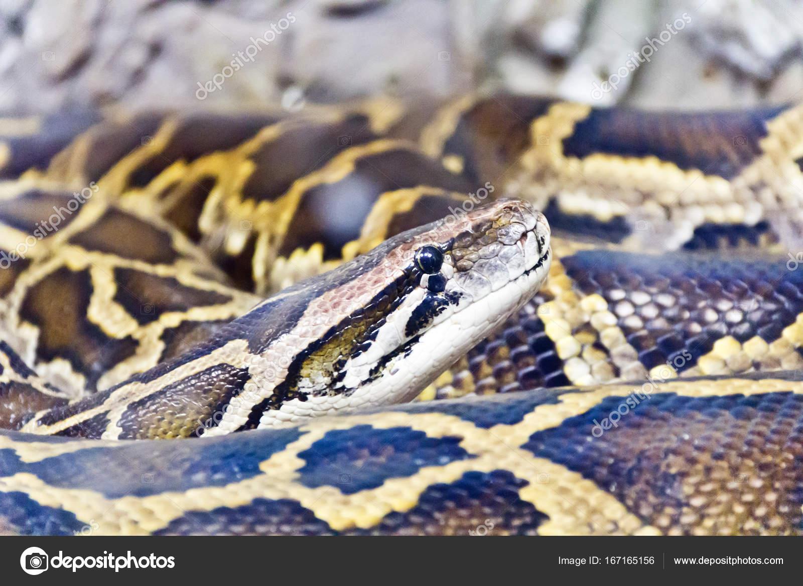 Foto de cabeza de python de cerca — Fotos de Stock © julialine ...