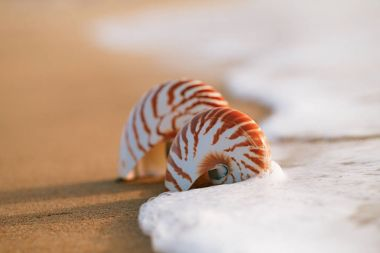 seashell nautilus on sea beach