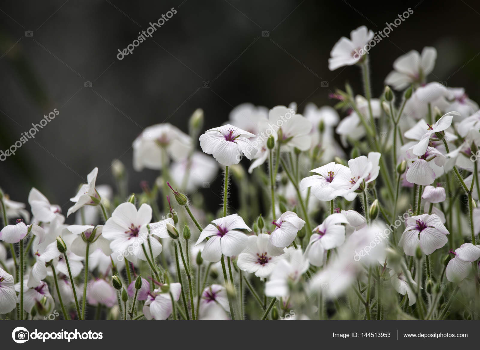 Beautiful Small White And Pink Flowers In Bloom In Spring Stock