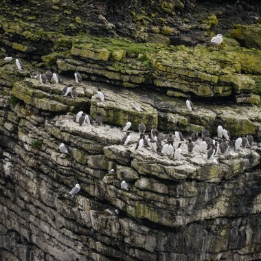 """Картина, постер, плакат, фотообои """"многочисленные гильмоты урия аалге гнездятся на склонах скал """", артикул 161154558"""