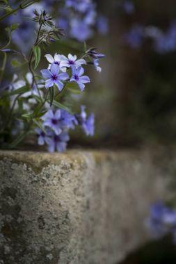Beautiful image of wild blue phlox flower in Spring overflowing