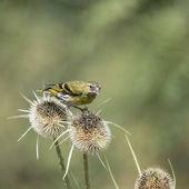 Krásný pták Siskin Spinus Spinus na teasels v lese landsca