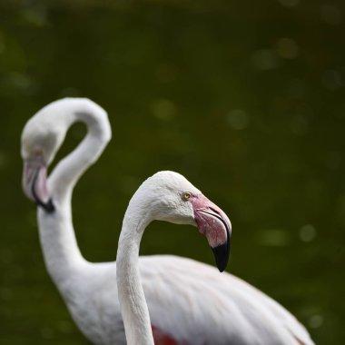 Beautiful portrait of Greater Flamingo Phoenicopterus Roseus bir