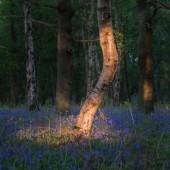 Fotografie Stunning bluebell forest landscape image in soft sunlight in Spr