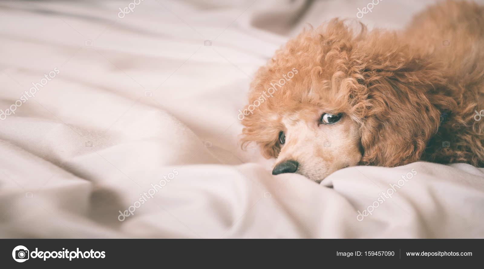 Cane Di Barboncino Sta Trovandosi E Dormire Nel Letto Avendo Una