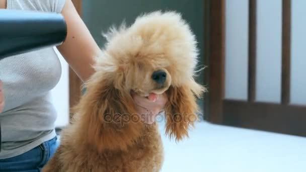 Donna asciuga i capelli di cane con asciuga capelli dopo - Bagno cane dopo antipulci ...