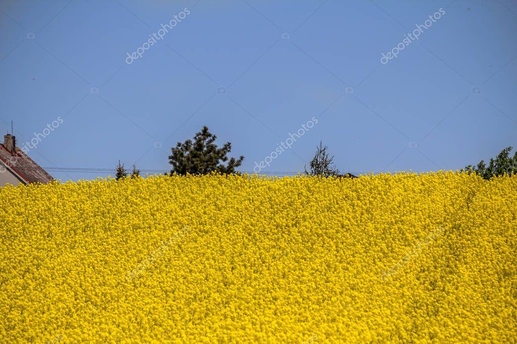 Raps field landscape