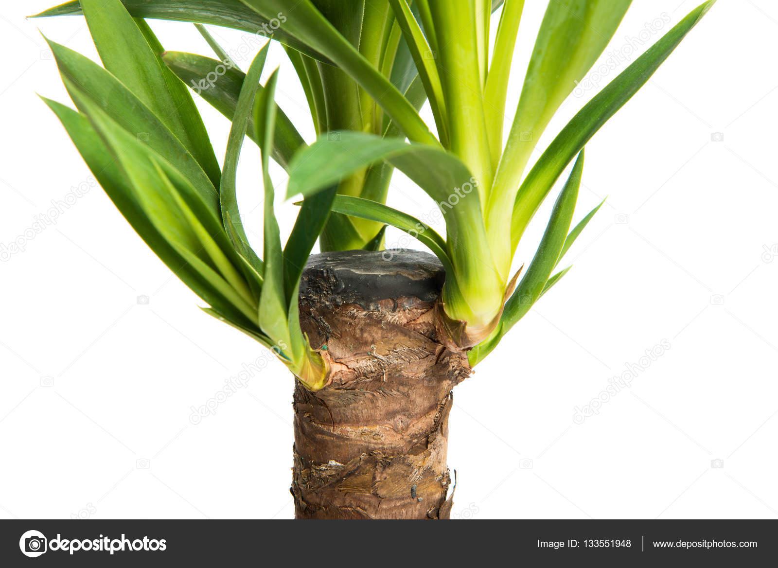 Yucca planta de casa a planta isolada no fundo branco em for Yuca de interior