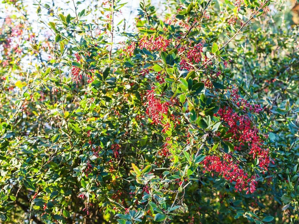 fruits m rs de berberis rouge pine vinette sur arbuste photographie vvoennyy 125073240. Black Bedroom Furniture Sets. Home Design Ideas
