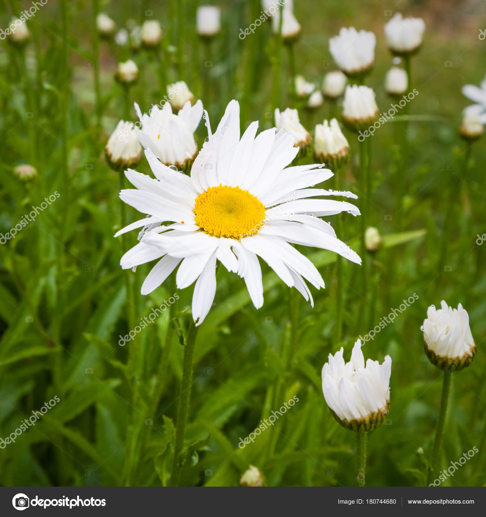 Daisy flower on meadow on coast of gouffre gulf stock photo daisy flower on meadow on coast of gouffre gulf stock photo izmirmasajfo