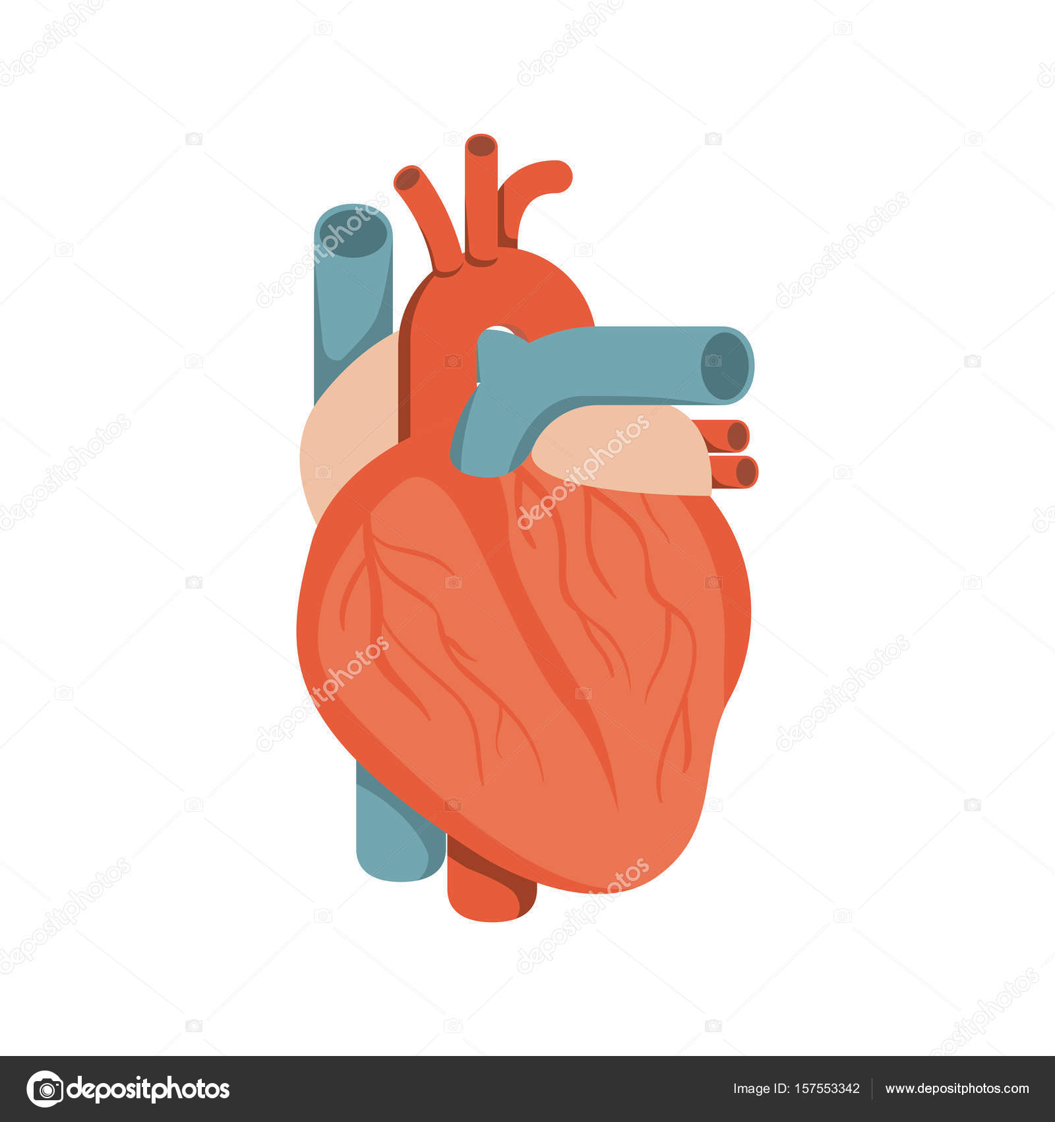 farbenfrohe Silhouette Herz System menschlicher Körper — Stockvektor ...