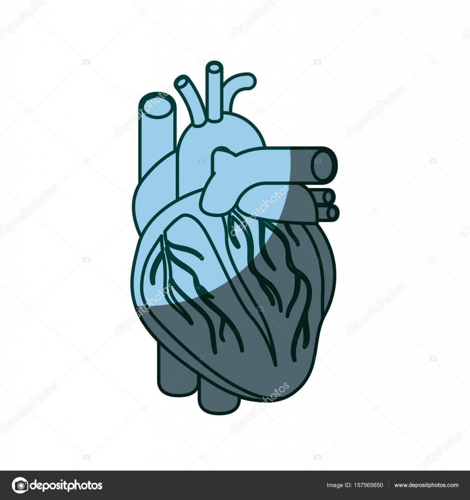 blaue Farbe schattieren Silhouette Herz System menschlicher Körper ...