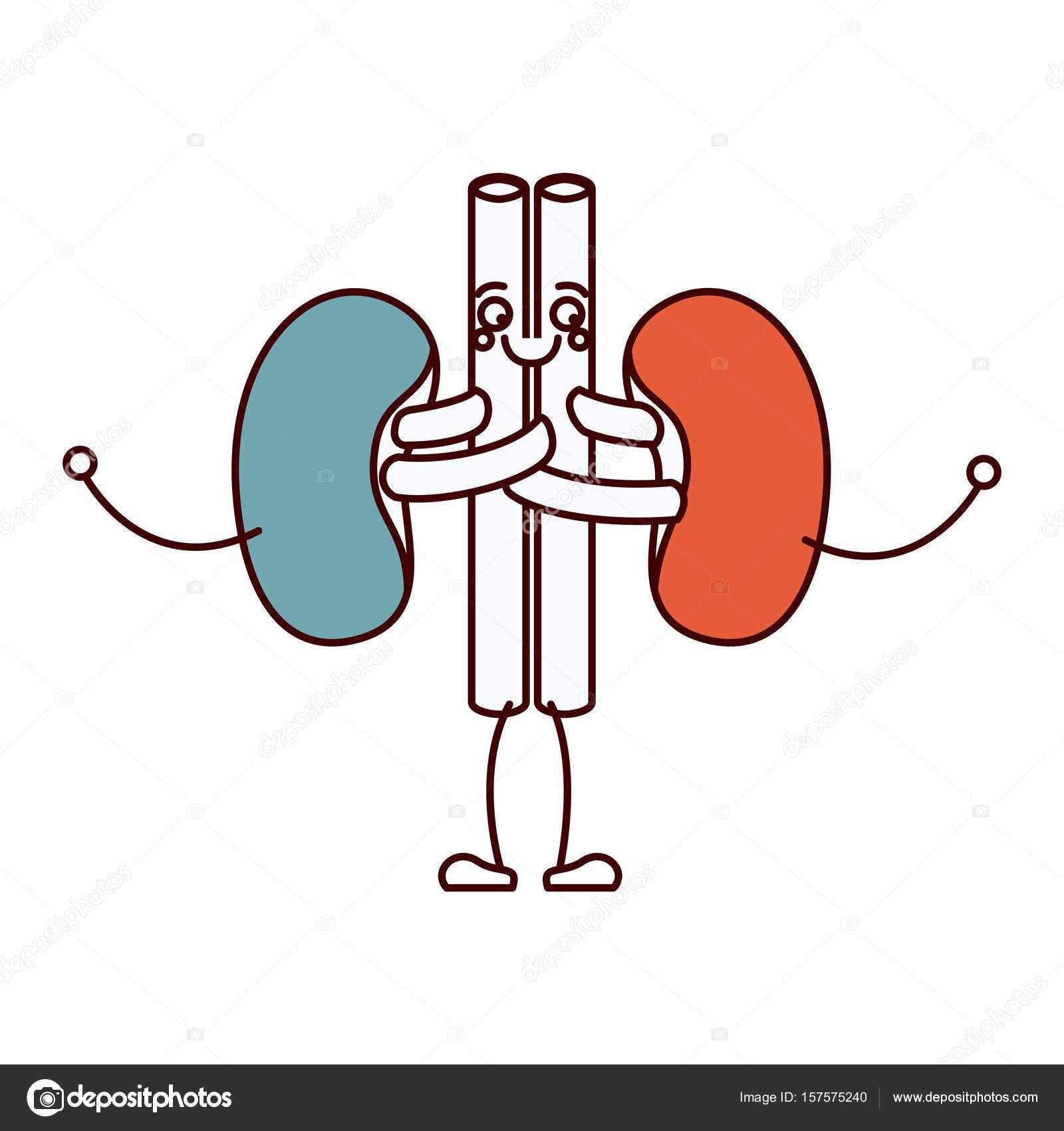 secciones de color silueta sistema renal caricatura del cuerpo ...