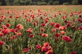 Beautiful red poppy field.