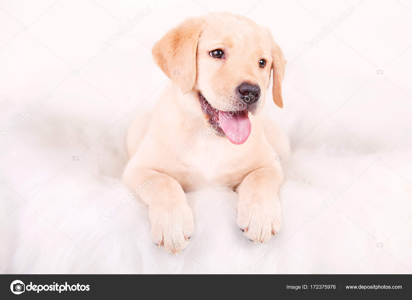 Labrador Puppy Drawing Drawing Dog Puppy Labrador Portrait On A White Background Stock Photo C Maksymiv 172375976