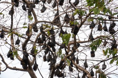 Bats perched on branches in the daytime