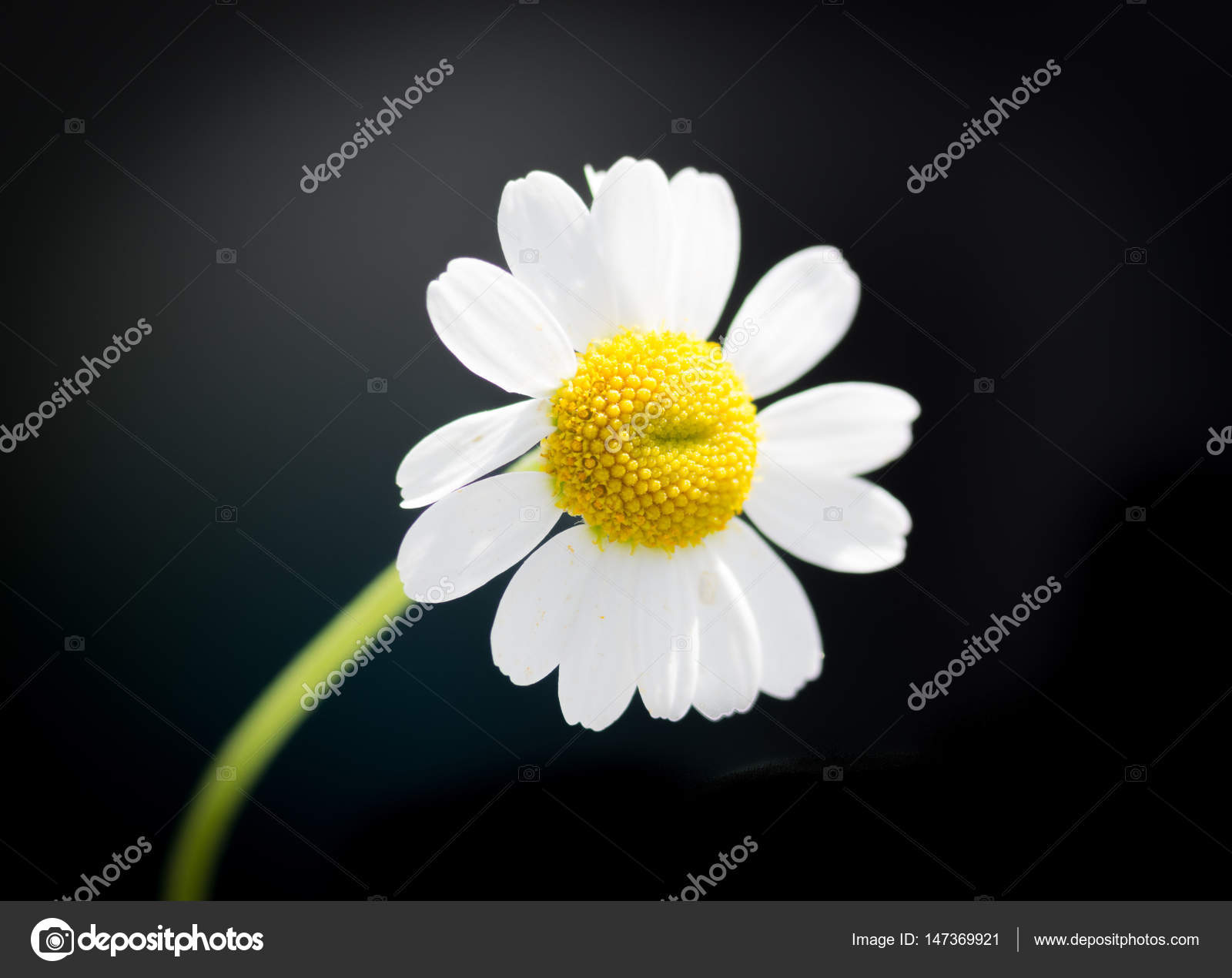 The chamomile flower stock photo rabad 147369921 chamomile or camomile is the common name for several daisy like plants of the family asteraceae that are commonly used to make herb infusions to serve izmirmasajfo