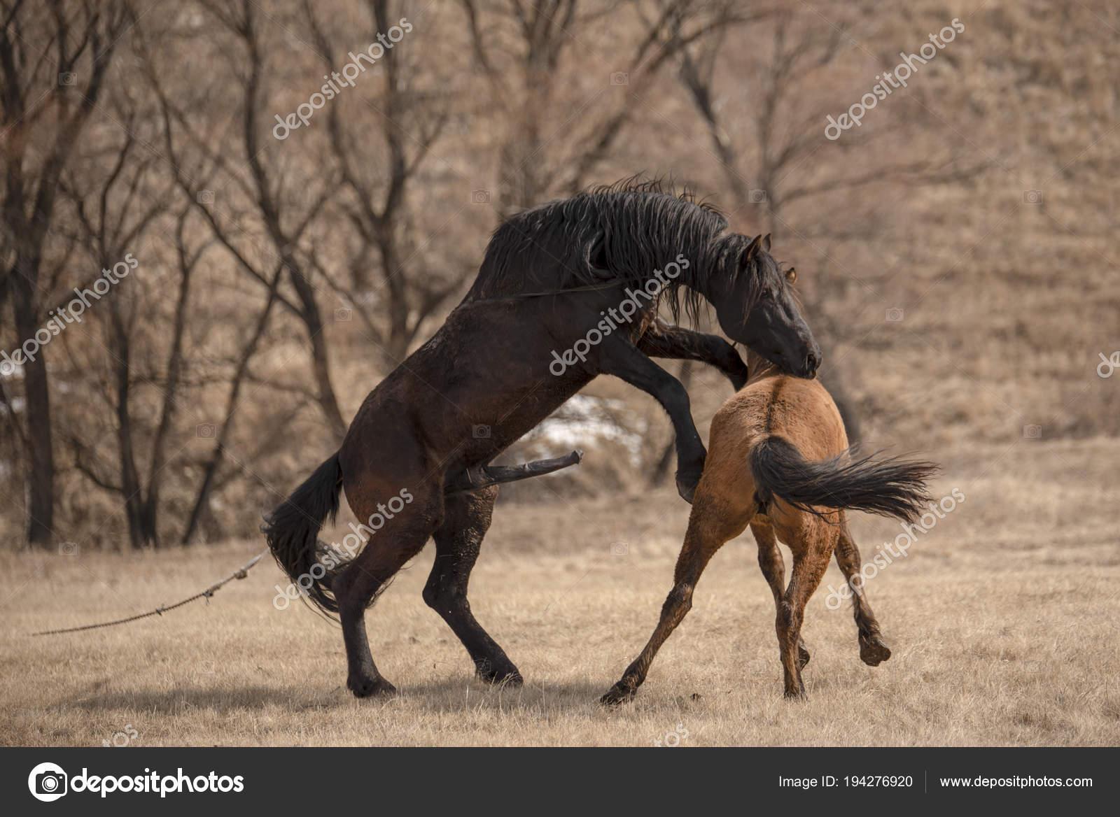 Pferde Sex Auf Der Wiese Stockfoto Manhattan001 194276920