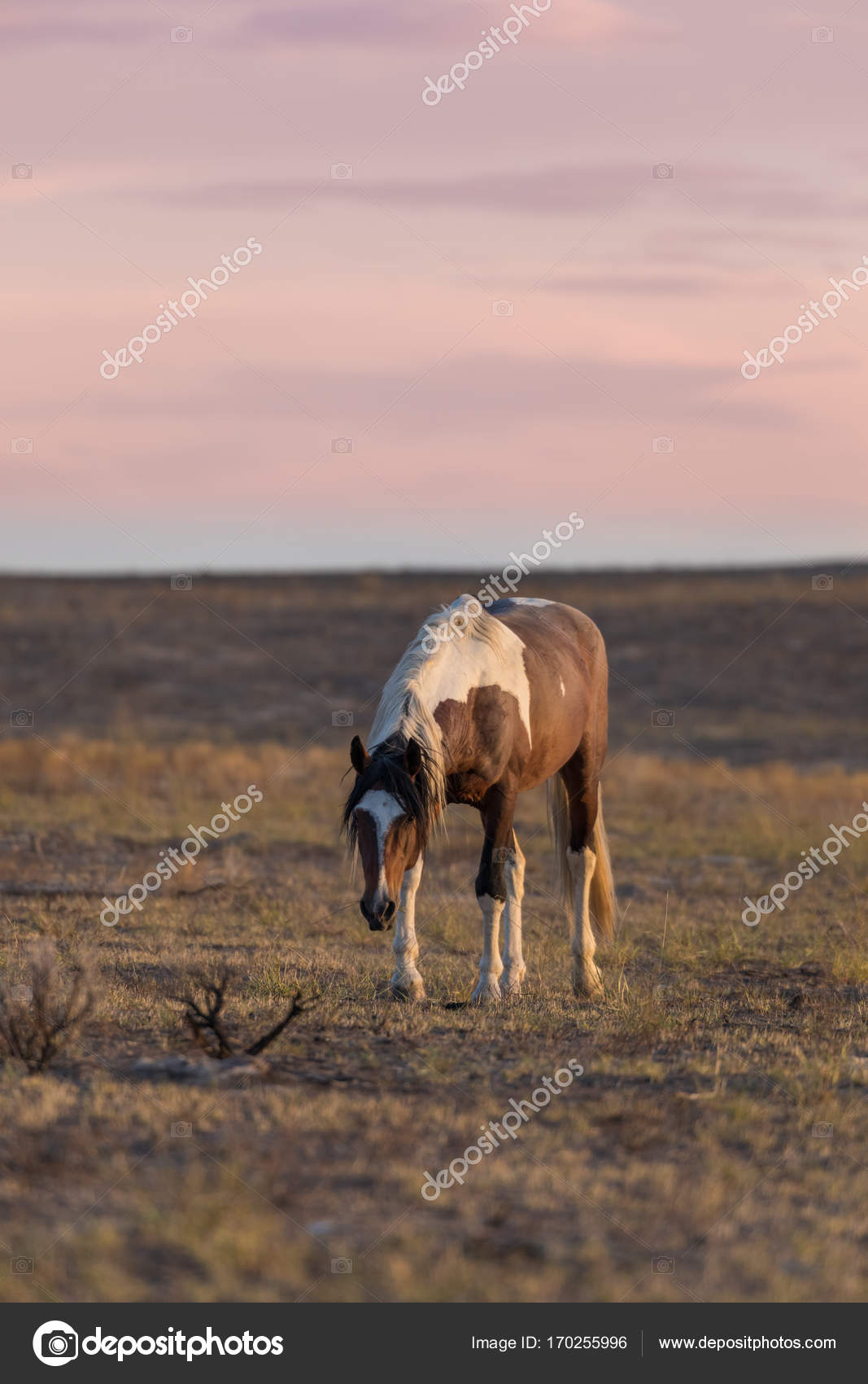 Beautiful Wild Horse Mustang Stock Photo C Twildlife 170255996