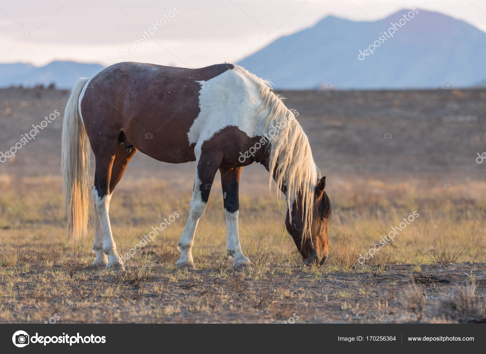 Beautiful Wild Horse Mustang Stock Photo C Twildlife 170256364