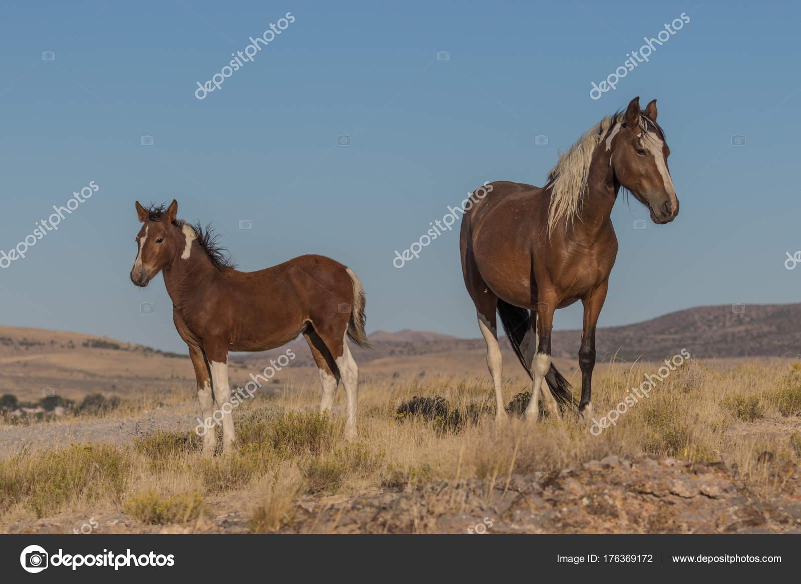 Beautiful Wild Horse Mare Her Cute Foal Stock Photo C Twildlife 176369172