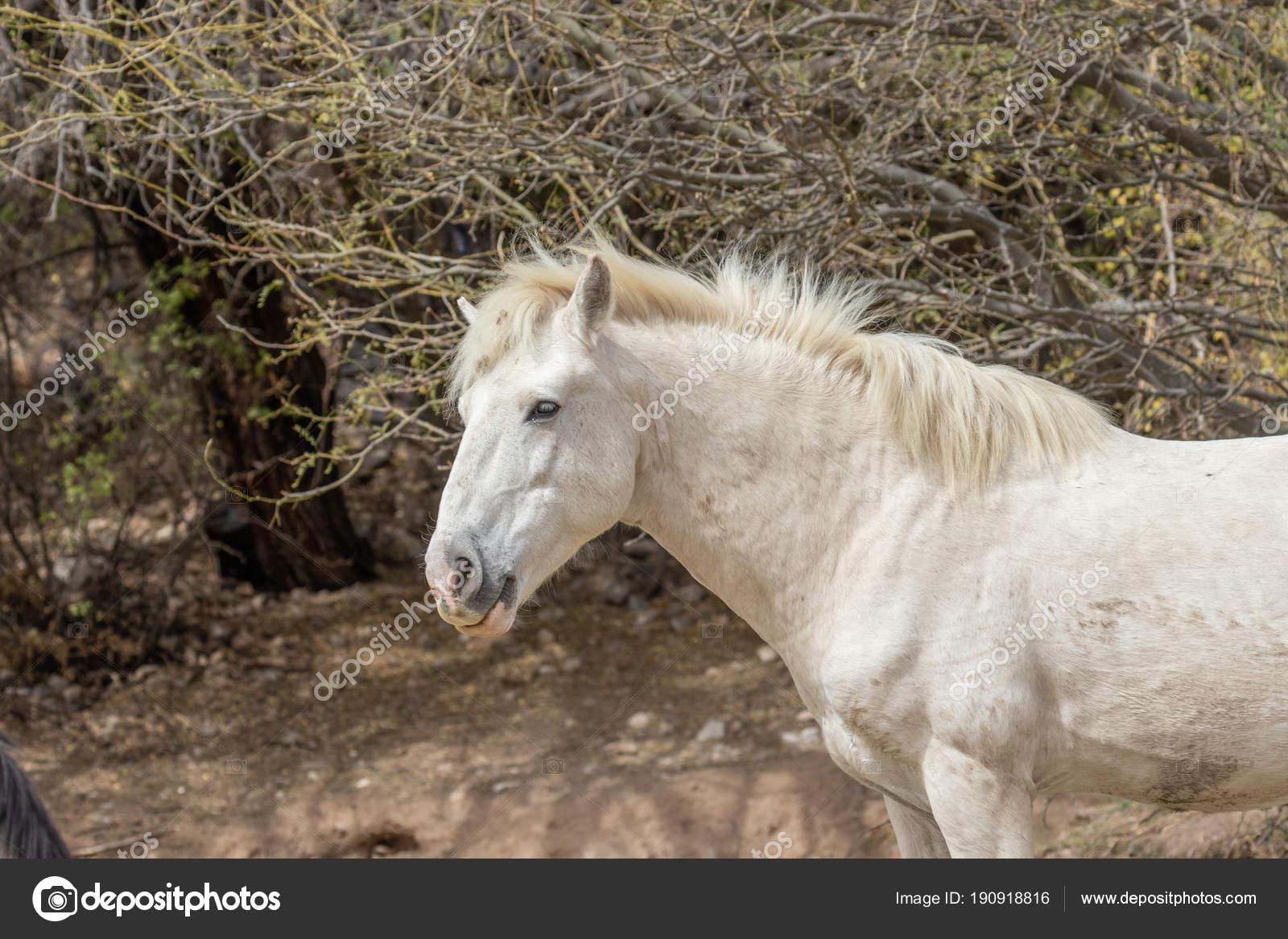 Beautiful White Wild Horse Stallion Salt River Arizona Stock Photo C Twildlife 190918816