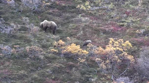 grizzly bears in autumn in Denali National Park Alaska
