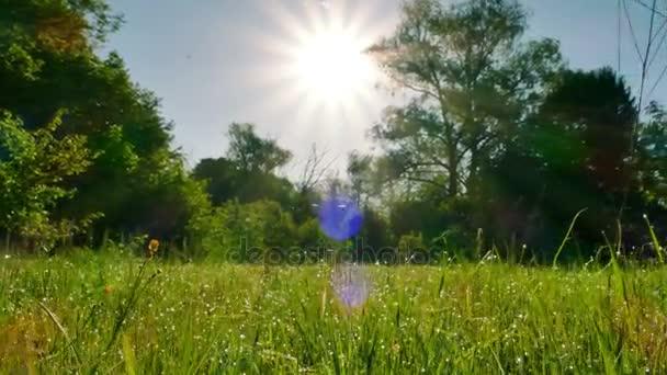 4k. Ranní louka s trávou a rosy. Stálý záběr, zvířecí pohled