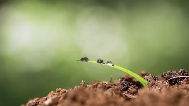 Samotné trávy rosou kapky proti pozadí v zeleném. Makro