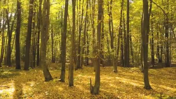 4k.Aerial. Podzimní žluté dřevo. Sluneční světlo, padající listí. boční let