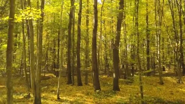 4k.Aerial. Pomalý let v podzimně žlutém lese. Sluneční světlo, padající listí.