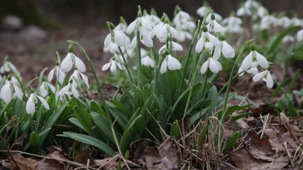 Snowdrops blooming. White delicate flowers snowdrops in garden, sunlight. First beautiful Common snowdrops in spring. Galanthus nivalis bloom in spring forest.